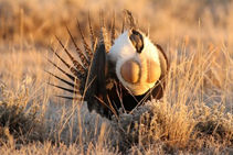 [A male greater sage-grouse mid-display